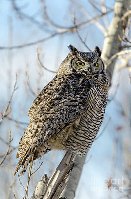 Photograph - Great Horned Owl by Dee Cresswell
