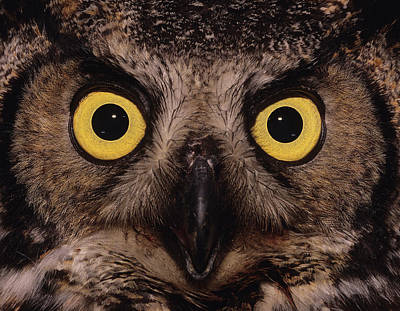 Great Horned Owl Face Art Print by Tony Beck