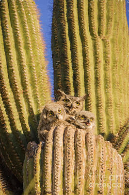 Photograph - Great Horned Owl Family by Marianne Jensen