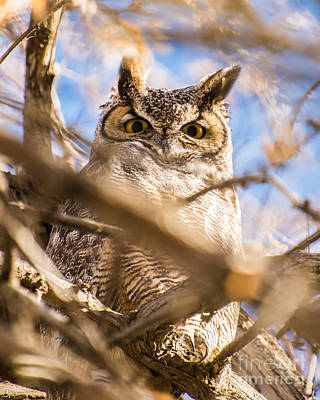 Great Horned Owl - Fielding Garr Ranch Art Print by Gary Whitton