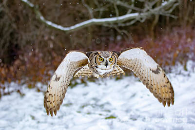Owl Photograph - Great Horned Owl Flying At You by CJ Park