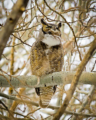 Photograph - Great Horned Owl by Greg Norrell