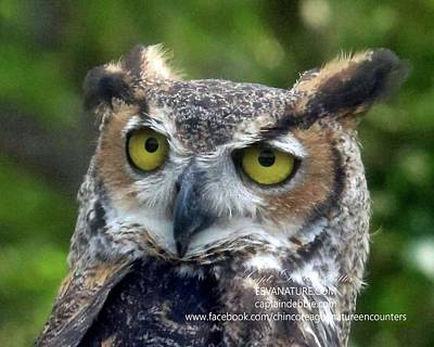 Photograph - Great Horned Owl Head Shot by Captain Debbie Ritter