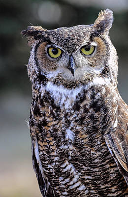 Photograph - Great Horned Owl IIi by Athena Mckinzie