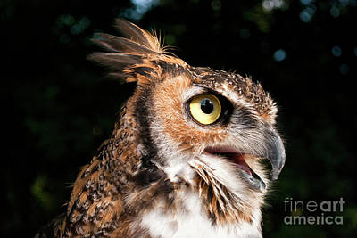 Photograph - Great Horned Owl IIi Visit Www.angeliniphoto.com For More by Mary Angelini
