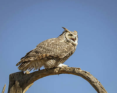 Photograph - Great Horned Owl-img_338018 by Rosemary Woods-Desert Rose Images