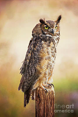 Photograph - Great Horned Owl In Evening Light by Sharon McConnell