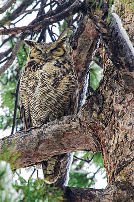 Photograph - Great Horned Owl In Fir Tree Sleeping by Dawn Key