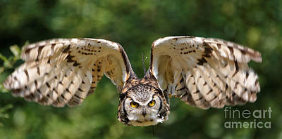 Photograph - Great Horned Owl - In Flight by Sue Harper