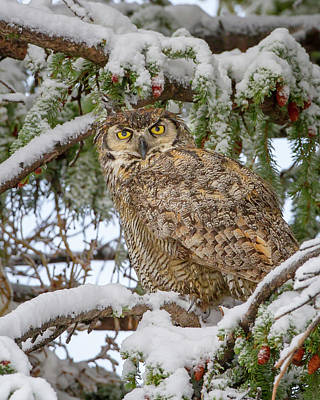 Great Horned Owl In Snow Art Print by Jack Bell