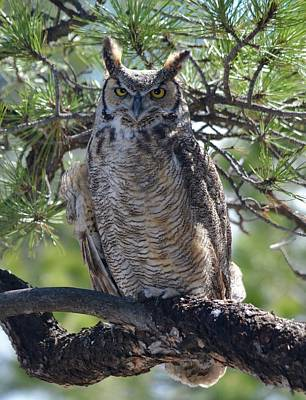 Photograph - Great Horned Owl In The Tree by Richard Bryce and Family