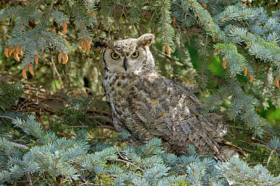 Photograph - Great Horned Owl by James Steele