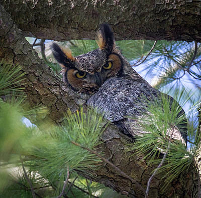 Photograph - Great Horned Owl by Jim Gillen