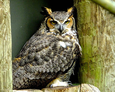 Photograph - Great Horned Owl by Judy Wanamaker