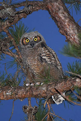 Photograph - Great Horned Owl Juvenile  by Alan Lenk