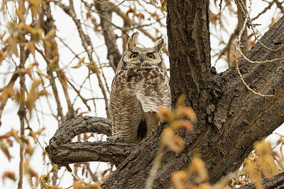 Photograph - Great Horned Owl Keeping Close Watch by Tony Hake
