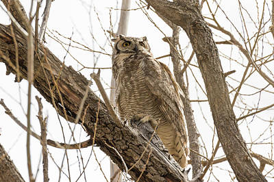 Photograph - Great Horned Owl Keeps An Eye On The Sky by Tony Hake