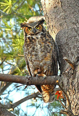 Photograph - Great Horned Owl  by Ken Stampfer