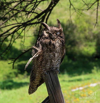 Photograph - Great Horned Owl by Louise Magno