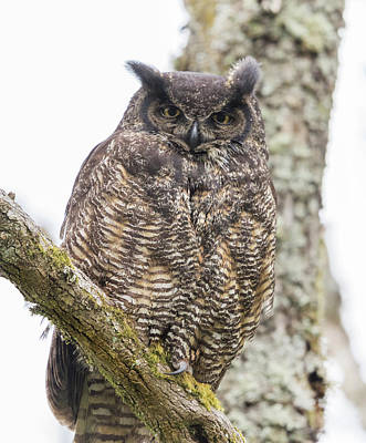 Photograph - Great Horned Owl Mama by Angie Vogel