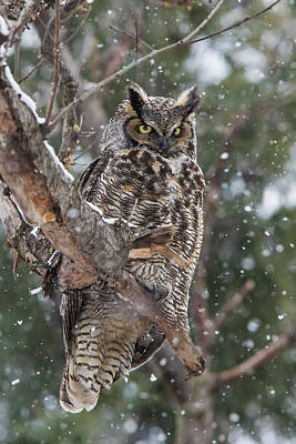 Photograph - Great Horned Owl  by Mircea Costina Photography