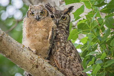 Rusty Trucks - Great Horned Owl Mom and Chick by Marc Crumpler