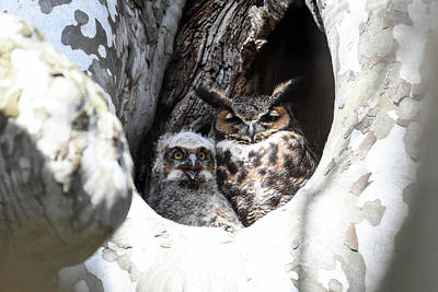 Photograph - Great Horned Owl Nest by Gary Wightman