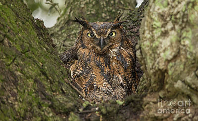 Nikki Vig Royalty-Free and Rights-Managed Images - Great Horned Owl by Nikki Vig