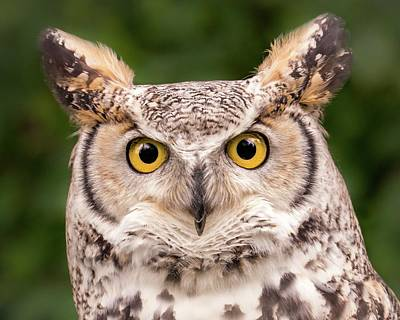Owl Portrait Photograph - Great Horned Owl, Northern Color Variant by Jim Hughes