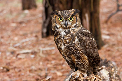 Rural Scenes Photograph - Great Horned Owl On A Log by Jill Lang