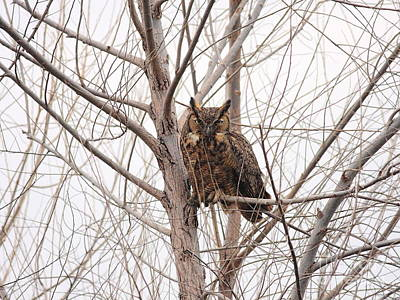 Photograph - Great Horned Owl On Tree by Wingsdomain Art and Photography