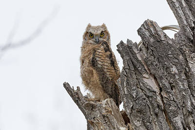 Photograph - Great Horned Owl Owlet Keeping Watch by Tony Hake