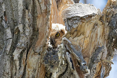 Photograph - Great Horned Owl Owlet Peeks Out by Tony Hake