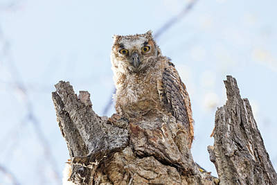 Photograph - Great Horned Owl Owlet Stares by Tony Hake