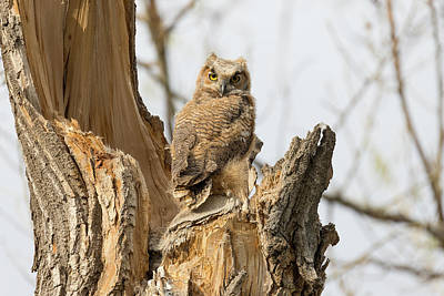 Photograph - Great Horned Owl Owlets In The Evening Light by Tony Hake