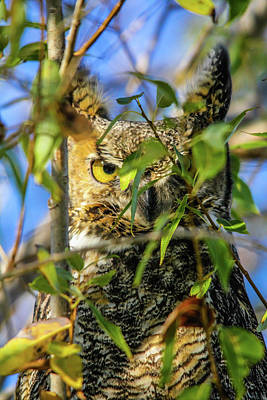Photograph -  Great Horned Owl Peeking At It's Prey by David Butler