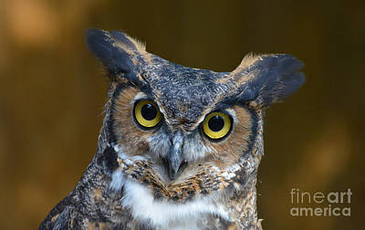 Photograph - Great Horned Owl Portrait by Kathy Baccari