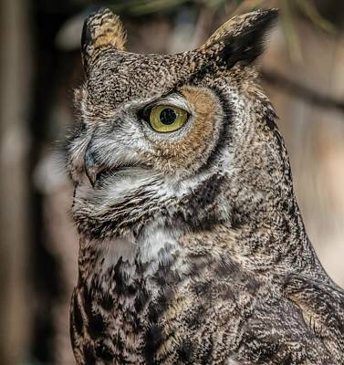 Photograph - Great Horned Owl Portrait by Teresa Wilson
