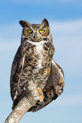 Photograph - Great Horned Owl Portrait - Winged Ambassadors by Dawn Currie