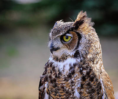 Photograph - Great Horned Owl Profile by Athena Mckinzie