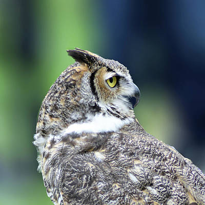 Photograph - Great Horned Owl Profile by Kathy Kelly