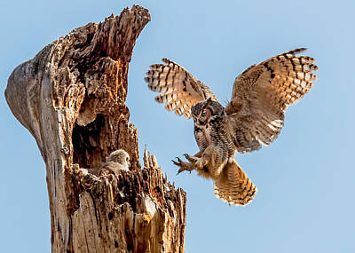 Owlets Photograph - Great Horned Owl Returning To Her Nest by Dawn Key