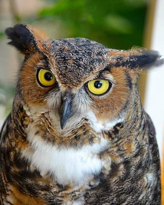 Photograph - Great Horned Owl  by Richard Bryce and Family