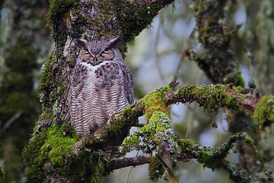 Photograph - Great Horned Owl Sleeping by Craig Strand