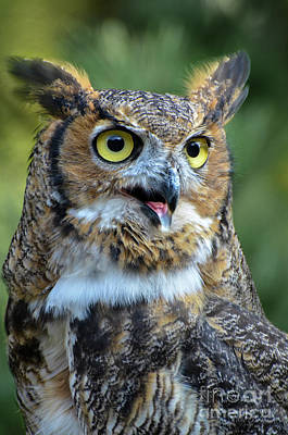 Photograph - Great Horned Owl Smiling by Amy Porter