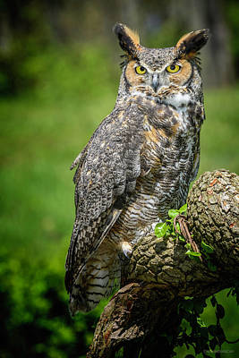 Photograph - Great Horned Owl Spring by LeeAnn McLaneGoetz McLaneGoetzStudioLLCcom