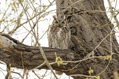 Photograph - Great Horned Owl Stands Watch by Tony Hake