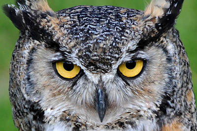 Photograph - Great Horned Owl Stare by Alan Lenk