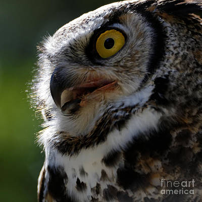 Photograph - Great Horned Owl by Sue Harper