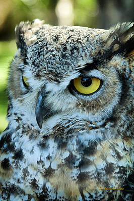 Photograph - Great Horned Owl by Tom Buchanan